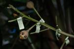 府立植物園:ホウガンノキの幼果.jpg